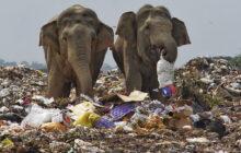 Elefanti che mangiano plastica: le raccapriccianti foto in una discarica nello Sri Lanka